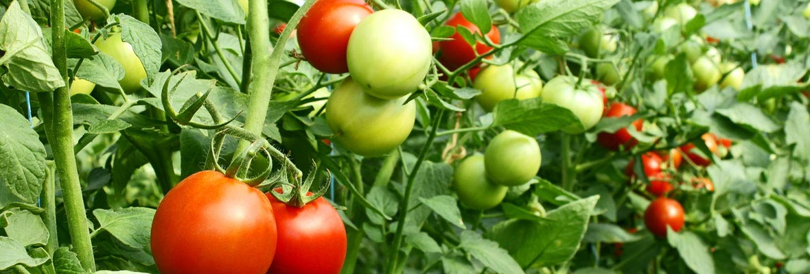 Organic Agro seeds suppliers theni