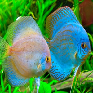 discus fish buy in theni
