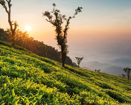 Buy Sale Ooty Tea Estates Munnar Kerala