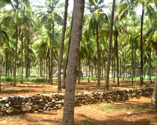 Coconut Farm Sales Theni Cumbum Pollachi