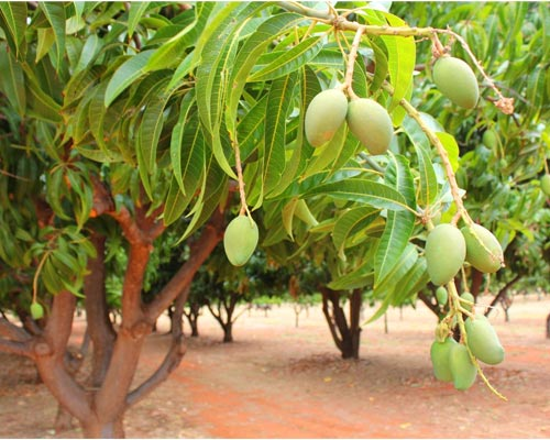 Mango Farm for sales theni tamil nadu