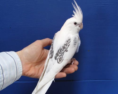 Cockatiel-Suppliers-Madurai-Coimbatore Pet Training Theni