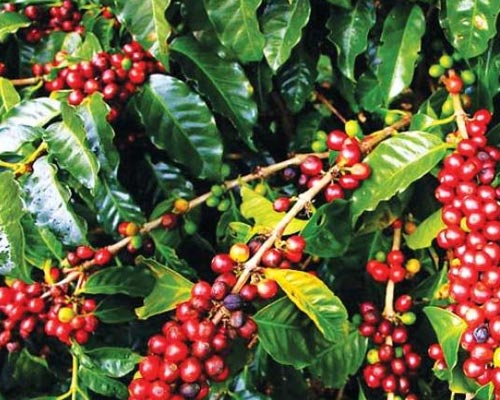 Kerala Munnar Coffee Estate Lease Sales Kodaikanal