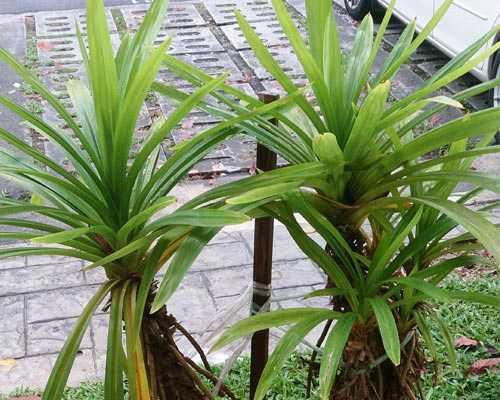 Medicinal-pandan-plant-suppliers-madurai-Theni